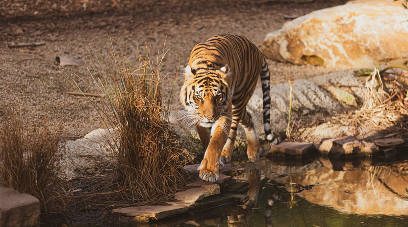 South America: wild animals at risk of 'genetic pollution'